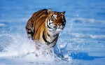Bengal_Tiger_hd_wallpaper