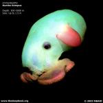 Dumbo-Octopus-Deep