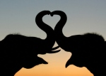 Elephants-Love