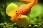 Funny-Goldfish-Bubble-Eye
