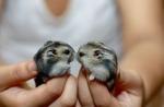 Hamsters-Kiss