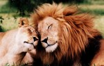 Lions-Love-640x408