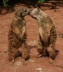 Meerkats-Kiss