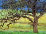 Oak Tree and Fields, California