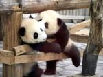 Panda-Kiss