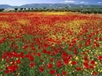 Red-flowers-wallpaper
