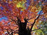 Red Maple in Autumn, West Virginia