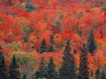 Sugar Maples and Spruce Trees, Ontario, Canada