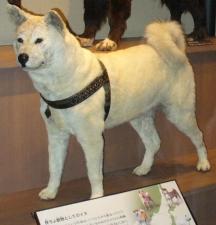 Opset tubuh Hachikō di Museum Nasional Ilmu Pengetahuan, Tokyo